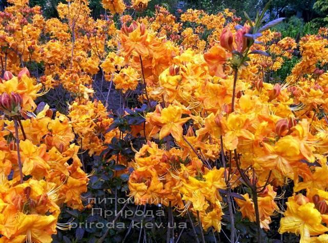 Азалия садовая крупноцветковая / Рододендрон листопадный Клондайк (Rododendron Klondyke) ФОТО Питомник растений Природа Priroda (4)