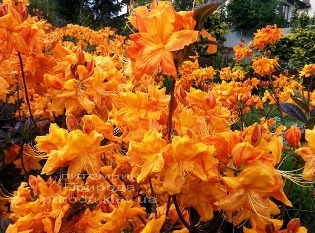 Азалия садовая крупноцветковая / Рододендрон листопадный Клондайк (Rododendron Klondyke) ФОТО Питомник растений Природа Priroda (6)