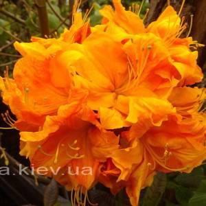 Азалия садовая крупноцветковая / Рододендрон листопадный Клондайк (Rododendron Klondyke) ФОТО Питомник растений Природа Priroda (7)