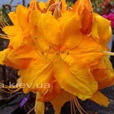 Азалия садовая крупноцветковая (Рододендрон листопадный)