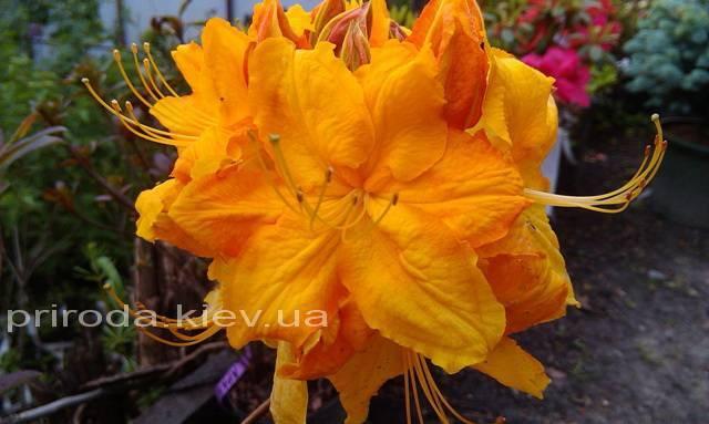Азалия садовая крупноцветковая / Рододендрон листопадный Клондайк (Rhododendron Klondyke) ФОТО Питомник растений Природа Priroda (8)