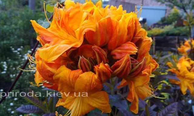 Азалия садовая крупноцветковая / Рододендрон листопадный Клондайк (Rhododendron Klondyke) ФОТО Питомник растений Природа Priroda