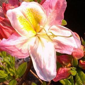 Азалия садовая крупноцветковая / Рододендрон листопадный Сатоми (Rododendron Satomi) ФОТО Питомник растений Природа Priroda