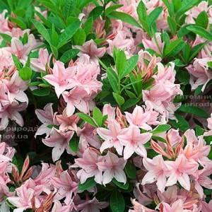 Азалия садовая крупноцветковая / Рододендрон листопадный Soir de Paris (Rododendron) ФОТО Питомник растений Природа Priroda
