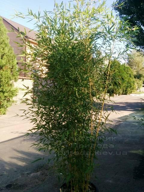 Бамбук / Листоколосник золотистожелобчатый (Phyllostachys aureosulcata) ФОТО Питомник растений Природа Priroda (5)