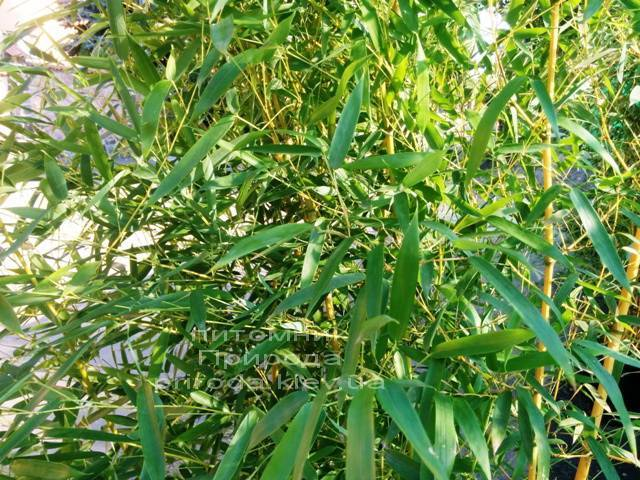 Бамбук / Листоколосник золотистожелобчатый (Phyllostachys aureosulcata) ФОТО Питомник растений Природа Priroda (7)