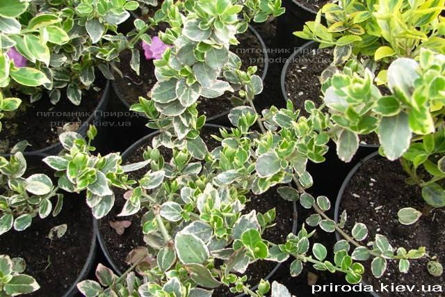 Бересклет Форчуна (Euonymus fortunei) ФОТО Питомник растений Природа Priroda (1)