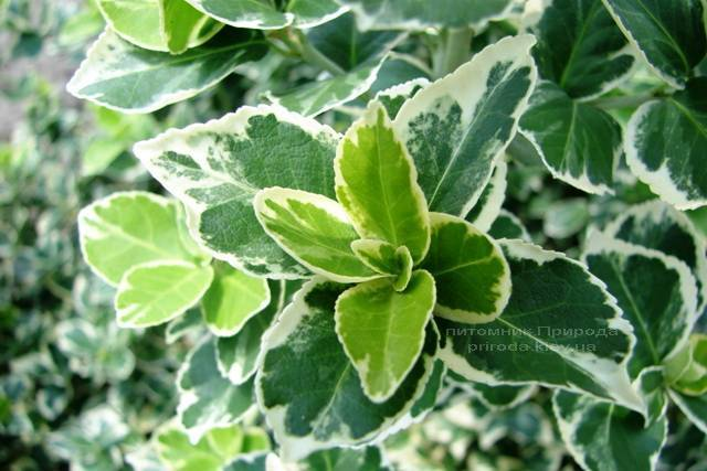 Бересклет Форчуна (Euonymus fortunei) ФОТО Питомник растений Природа Priroda (10)
