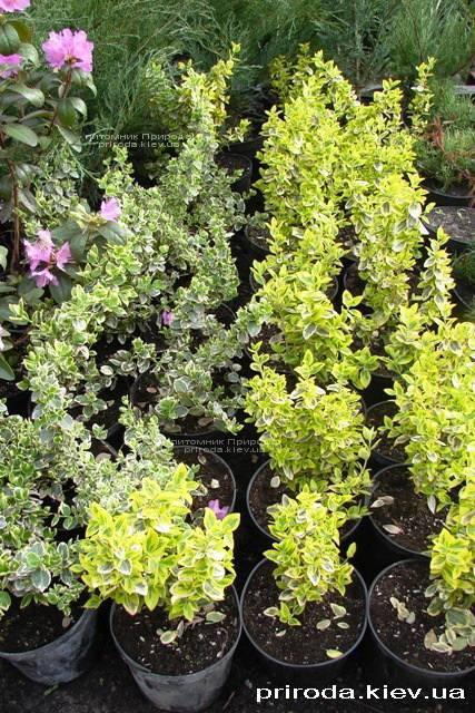 Бересклет Форчуна (Euonymus fortunei) ФОТО Питомник растений Природа Priroda
