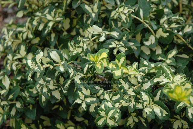 Бересклет Форчуна (Euonymus fortunei) ФОТО Питомник растений Природа Priroda (6)