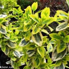 Бересклет Форчуна (Euonymus fortunei) ФОТО Питомник растений Природа Priroda (7)