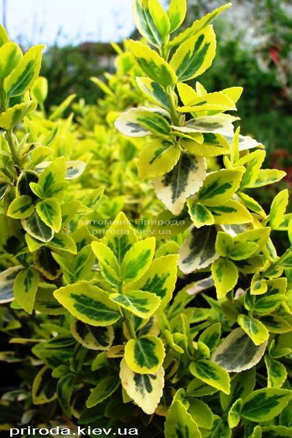 Бересклет Форчуна (Euonymus fortunei) ФОТО Питомник растений Природа Priroda (8)