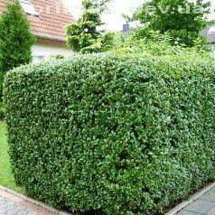 Бирючина звичайна (Ligustrum vulgare) ФОТО Розплідник рослин Природа Priroda (1)