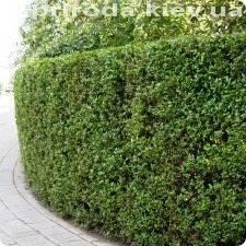 Бирючина обыкновенная (Ligustrum vulgare) ФОТО Питомник растений Природа Priroda