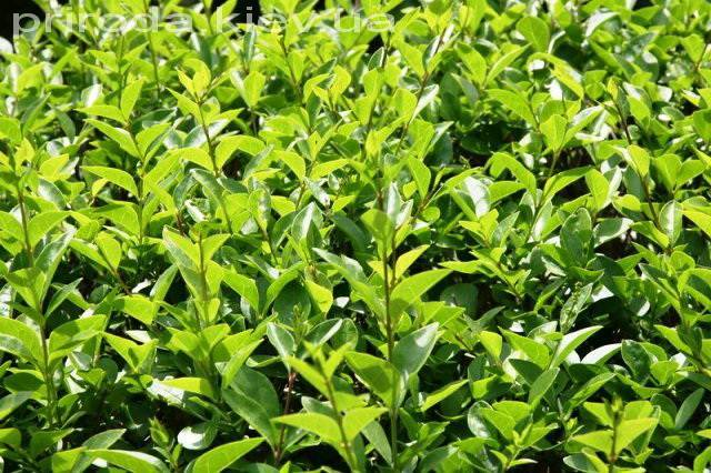 Бирючина звичайна (Ligustrum vulgare) ФОТО Розплідник рослин Природа Priroda (3)