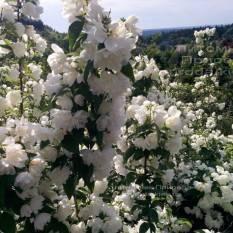 Чубушник венечный / Жасмин садовый (Philadelphus coronarius) ФОТО Питомник растений Природа Priroda