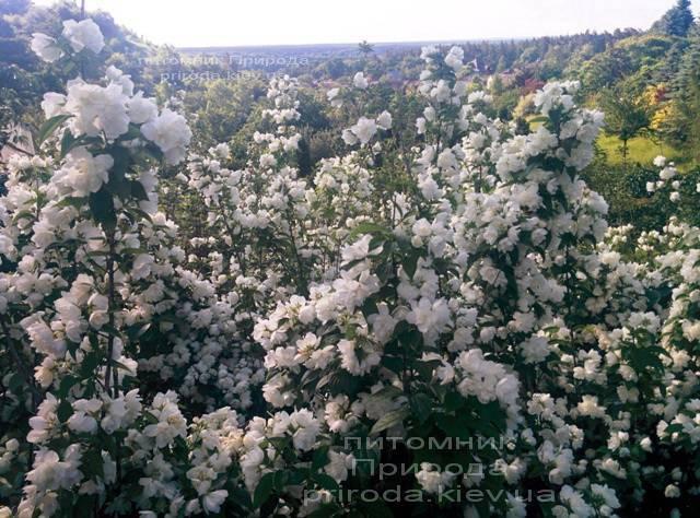 Чубушник венечный / Жасмин садовый (Philadelphus coronarius) ФОТО Питомник растений Природа Priroda (8)