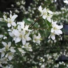 Чубушник земляничный / Жасмин садовый (Philadelphus) ФОТО Питомник растений Природа Priroda