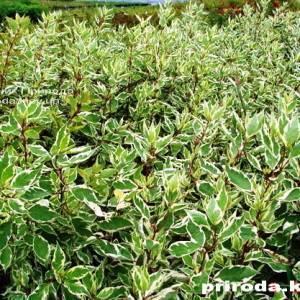 Дерен белый Элегантиссима (Cornus alba Elegantissima) ФОТО Питомник растений Природа Priroda