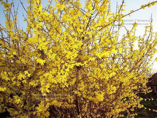 Форзиция промежуточная (Forsythia intermedia) ФОТО Питомник растений Природа Priroda (1)
