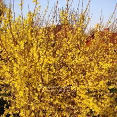 Форзиция промежуточная (Forsythia intermedia) ФОТО Питомник растений Природа Priroda