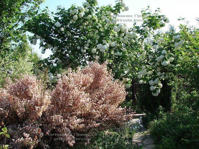 Калина звичайна Розеум / Бульденеж / Білий м'яч (Viburnum opulus Roseum) ФОТО Розплідник рослин Природа Priroda (4)