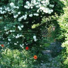 Калина обыкновенная Розеум / Бульденеж / Белый шар (Viburnum opulus Roseum) ФОТО Питомник растений Природа Priroda