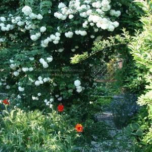 Калина обыкновенная Розеум / Бульденеж / Белый шар (Viburnum opulus Roseum) ФОТО Питомник растений Природа Priroda (6)