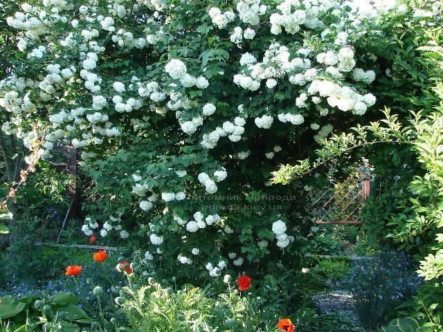 Калина звичайна Розеум / Бульденеж / Білий м'яч (Viburnum opulus Roseum) ФОТО Розплідник рослин Природа Priroda (7)