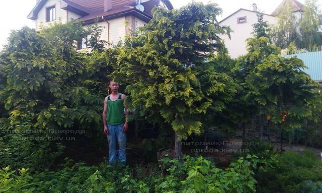 Кипарисовик Лавсона Стардаст (Chamaecyparis lawsoniana Stardust) ФОТО Питомник растений Природа Priroda (13)