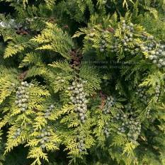 Кипарисовик Лавсона Стардаст (Chamaecyparis lawsoniana Stardust) ФОТО Питомник растений Природа Priroda