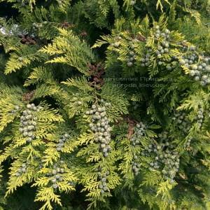 Кипарисовик Лавсона Стардаст (Chamaecyparis lawsoniana Stardust) ФОТО Питомник растений Природа Priroda (22)