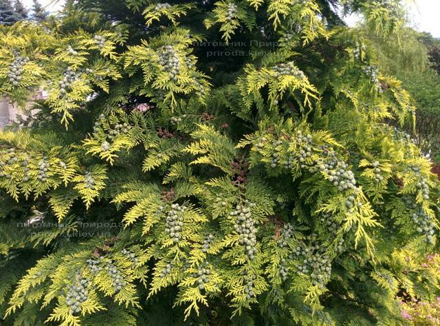 Кипарисовик Лавсона Стардаст (Chamaecyparis lawsoniana Stardust) ФОТО Розплідник рослин Природа Priroda (20)