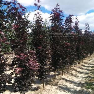 Клён остролистный Кримсон Сентри (Acer platanoides Crimson Sentry) ФОТО Питомник растений Природа Priroda