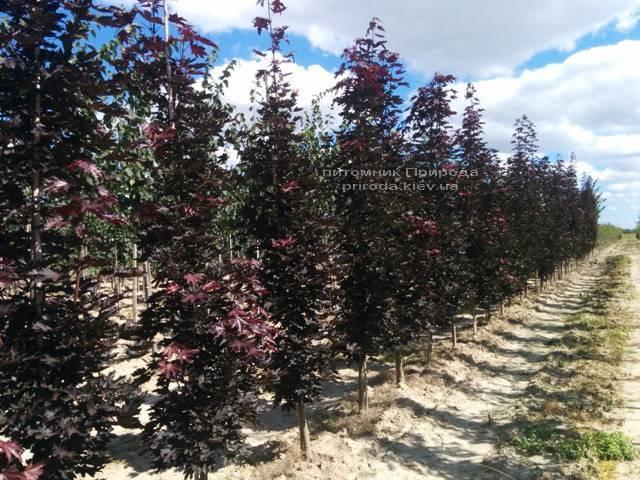 Клён остролистный Кримсон Сентри (Acer platanoides Crimson Sentry) ФОТО Питомник растений Природа Priroda (18)