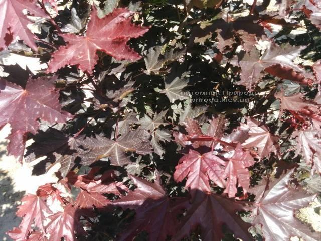 Клён остролистный Кримсон Сентри (Acer platanoides Crimson Sentry) ФОТО Питомник растений Природа Priroda (20)