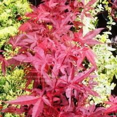 Клён веерный / пальмолистный Атропурпуреум (Acer palmatum Atropurpureum) ФОТО Питомник растений Природа Priroda