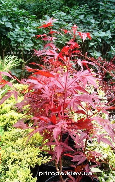 Клён веерный / пальмолистный Атропурпуреум (Acer palmatum Atropurpureum) ФОТО Питомник растений Природа Priroda (22)