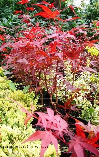 Клён веерный / пальмолистный Атропурпуреум (Acer palmatum Atropurpureum) ФОТО Питомник растений Природа Priroda (24)