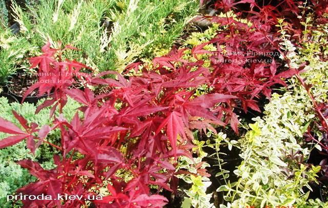 Клён веерный / пальмолистный Атропурпуреум (Acer palmatum Atropurpureum) ФОТО Питомник растений Природа Priroda (23)