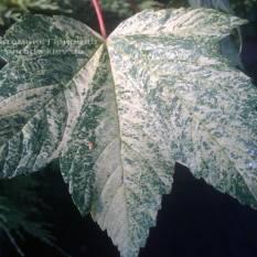 Клён псевдоплатановый Леопольди/Leopoldii (Acer pseudoplatanus Leopoldii) ФОТО Питомник растений Природа Priroda (1)