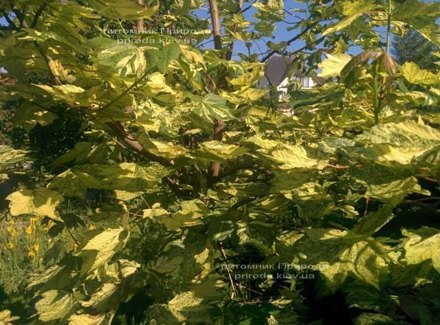 Клён псевдоплатановый Леопольди/Leopoldii (Acer pseudoplatanus Leopoldii) ФОТО Питомник растений Природа Priroda (3)