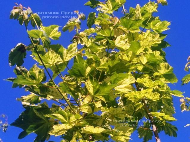 Клён псевдоплатановый Леопольди/Leopoldii (Acer pseudoplatanus Leopoldii) ФОТО Питомник растений Природа Priroda (4)