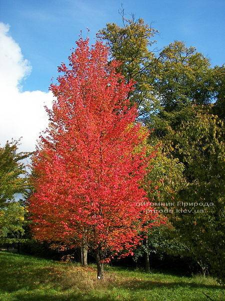 Клен червоний (Acer rubrum) ФОТО Розплідник рослин Природа Priroda (5)