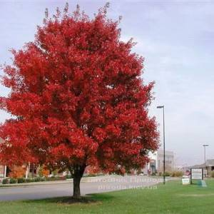 Клен красный (Acer rubrum) ФОТО Питомник растений Природа Priroda