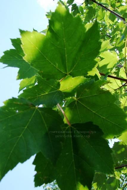 Клен червоний (Acer rubrum) ФОТО Розплідник рослин Природа Priroda (7)