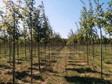 Клен остролистный (Acer platanoides)  ФОТО Питомник растений Природа Priroda