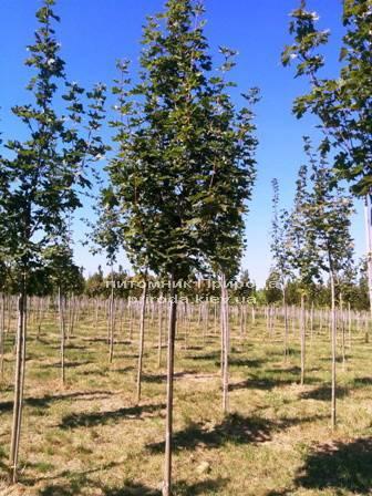 Клен остролистный (Acer platanoides) ФОТО Питомник растений Природа Priroda (12)