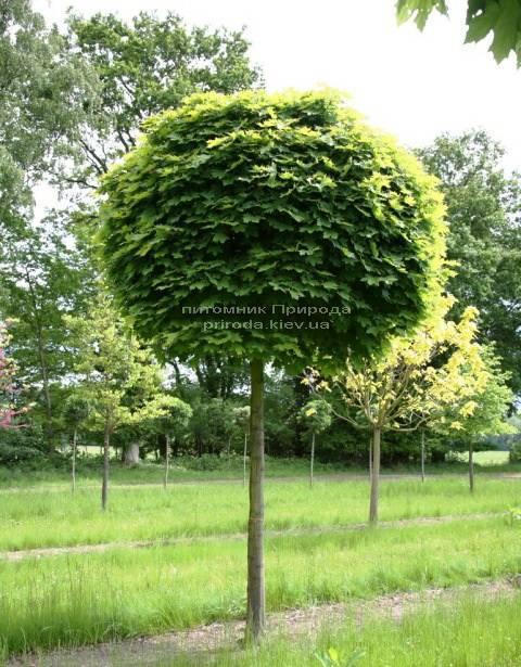 Клен остролистный шаровидный Глобозум (Acer platanoides Globosum) на штамбе ФОТО Питомник растений Природа Priroda (26)
