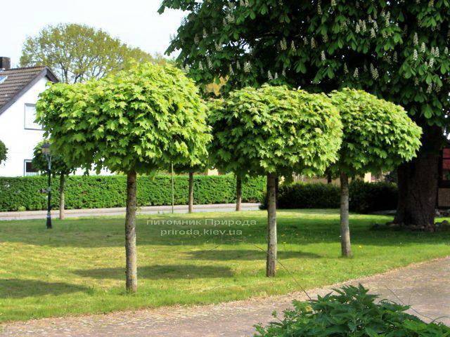 Клен остролистный шаровидный Глобозум (Acer platanoides Globosum) на штамбе ФОТО Питомник растений Природа Priroda (35)